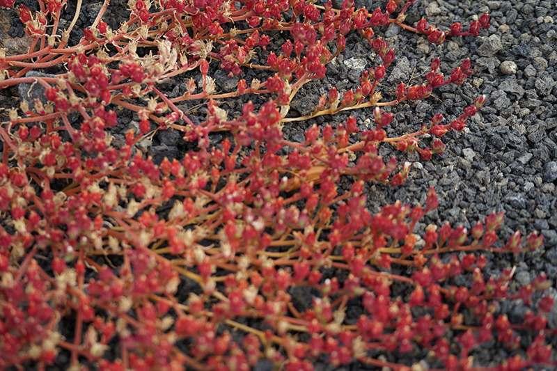 Pflanzen rot schwarz